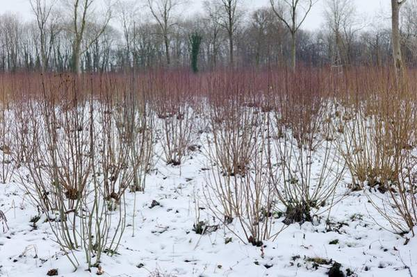 Coppice Photograph - Coppice Woodland In Winter by Dr Jeremy Burgess/science Photo Library