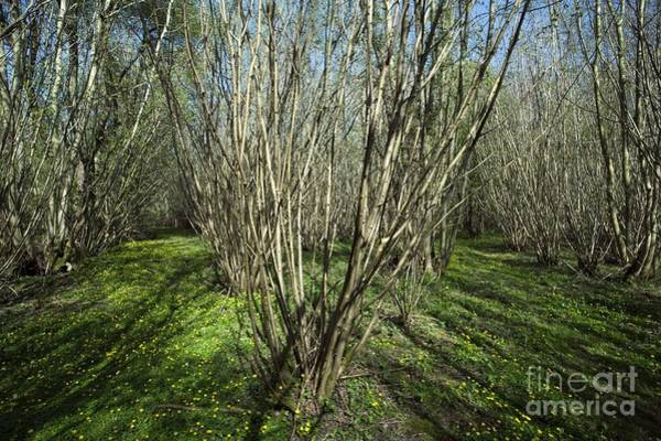 Coppice Photograph - Coppiced Woodland by Simon Booth