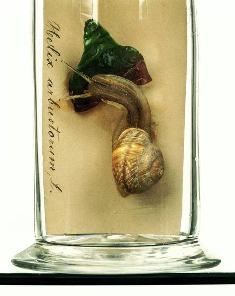 Anatomical Model Wall Art - Photograph - Copse Snail by Ucl, Grant Museum Of Zoology