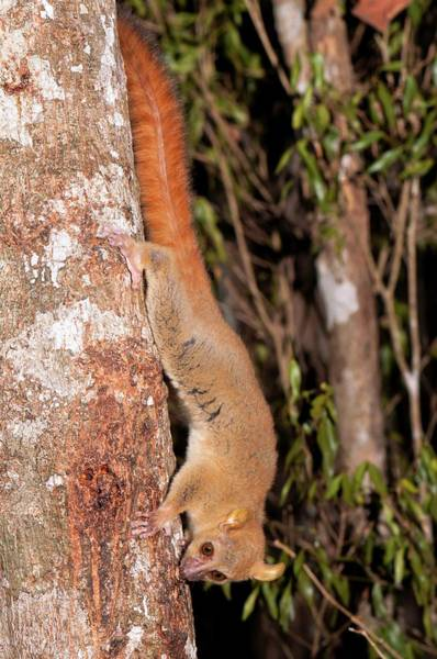 Wall Art - Photograph - Coquerel's Giant Mouse Lemur by Tony Camacho/science Photo Library