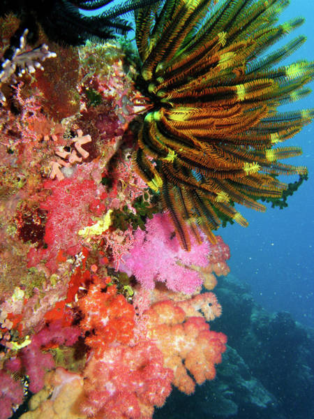 Feather Stars Wall Art - Photograph - Coral Agincourt Reef Great Barrier Reef by David Wall