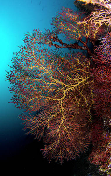 Baja California Peninsula Wall Art - Photograph - Coral At Sea Of Cortez by Luis Javier Sandoval