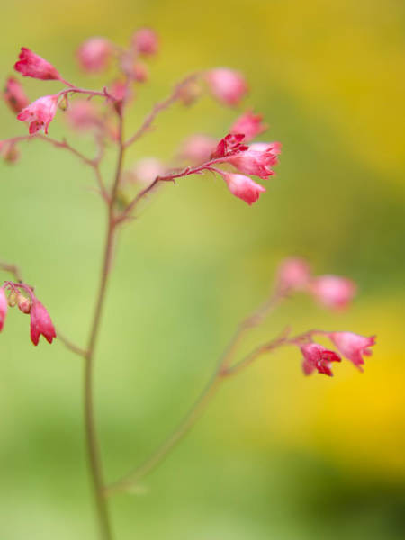 Photograph - Coral Bells by Heather Applegate