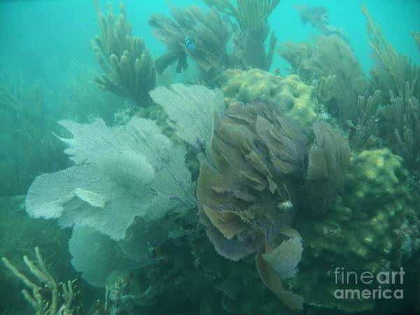 Photograph - Coral Fans by Adam Jewell