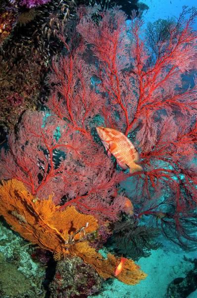 Coral Hind Lying In Ambush Art Print