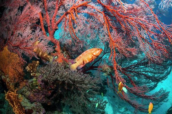 Coral Hinds Lying In Ambush Art Print