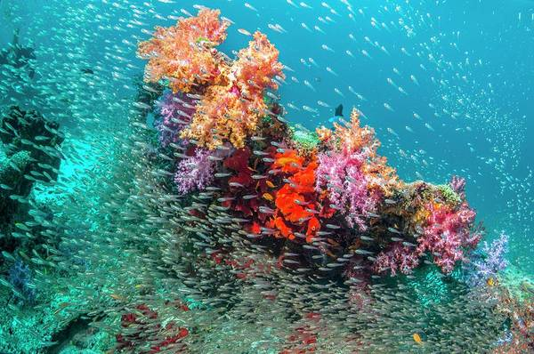 Coral Reef And Pygmy Sweepers Art Print