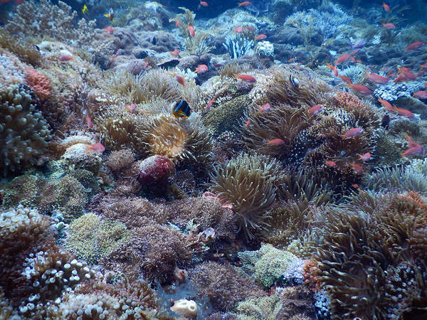 Biodiverse Wall Art - Photograph - Coral Reef Biodiversity by Carleton Ray