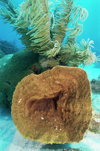 Sponge Photograph - Coral Reef by Jim Edds/science Photo Library