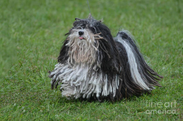 Dred Photograph - Corded Black And White Puli Dog by DejaVu Designs