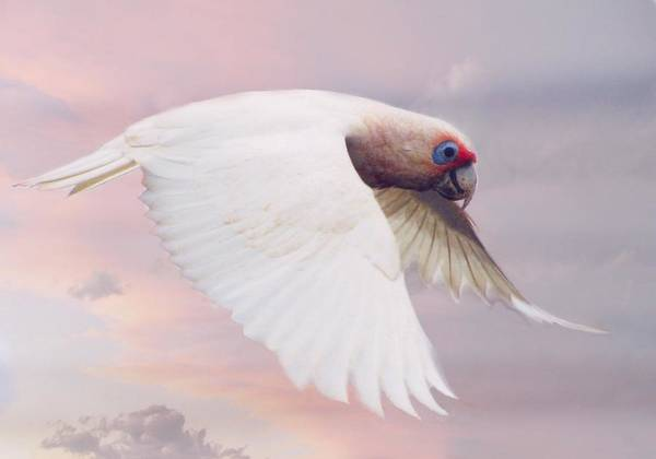 Photograph - Corella In Flight by David Rich
