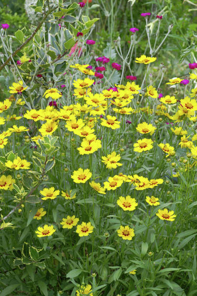Wall Art - Photograph - Coreopsis Lanceolata 'rotkelchen' by Brian Gadsby/science Photo Library