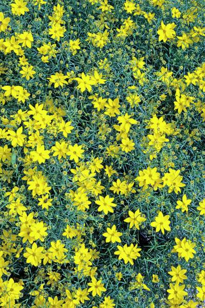 Wall Art - Photograph - Coreopsis Verticillata by Geoff Kidd/science Photo Library