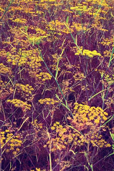 Photograph - Coriander In Bloom 2 by Michelle Calkins