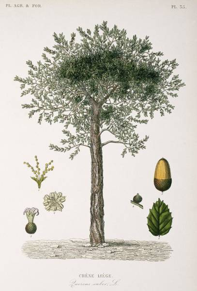 Vegetal Photograph - Cork Oak Tree, 19th Century by Science Photo Library