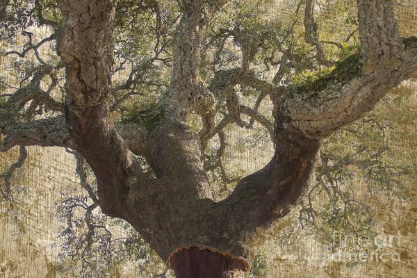 Photograph - Cork Oak Tree by Heiko Koehrer-Wagner