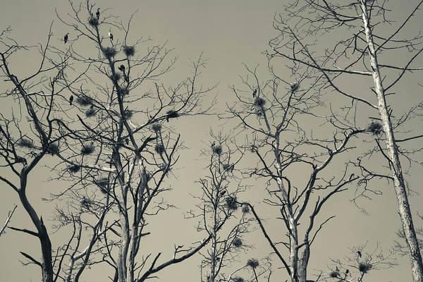 Cormorant Bird Colony On A Tree, Nida Art Print