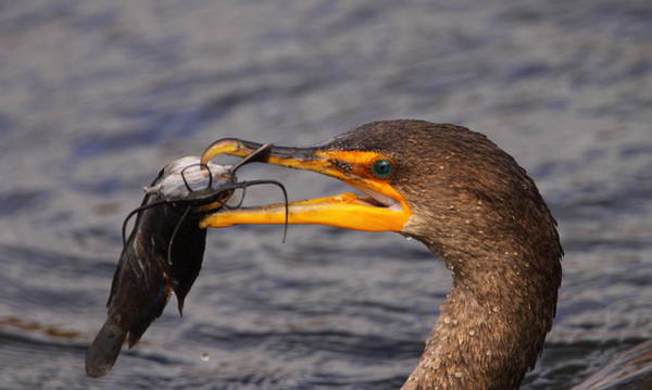 Double Crested Cormorant Photograph - Cormorant Catching Catfish by Bruce J Robinson