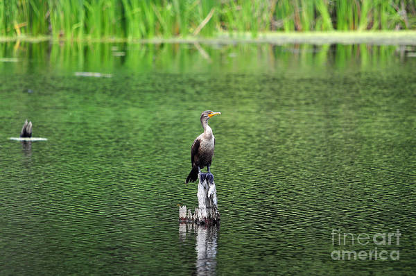 Double Crested Cormorant Photograph - Cormorant Chilling by Al Powell Photography USA