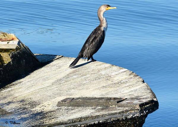 Photograph - Cormorant In The Sun by Dan Williams