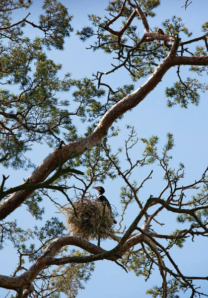 Cormorant Perching On A Tree, Nida Art Print