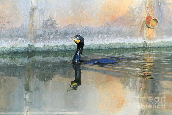 Cormorant Wall Art - Photograph - Cormorant Swim by Deborah Benoit