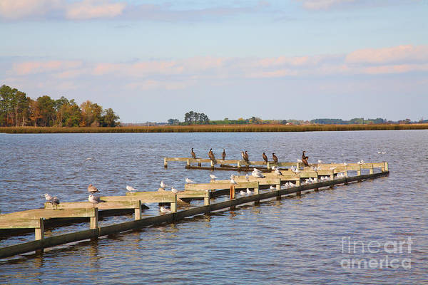 Wall Art - Photograph - Cormorants And Seagulls On Old Dock Near Blackwater  National Wildlife Refuge Near Cambridge Md by William Kuta