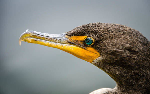 Photograph - Cormorant's Jewel by Jennifer Kano