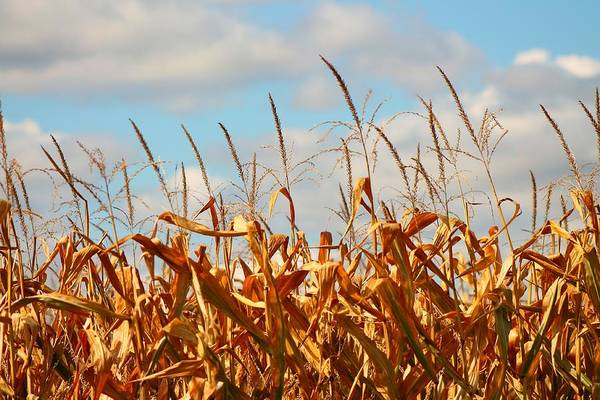 Wall Art - Photograph - Corn As High As The Sky by Rhonda Humphreys
