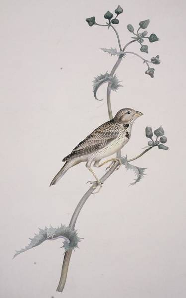 Wall Art - Photograph - Corn Bunting, 19th Century Artwork by Science Photo Library