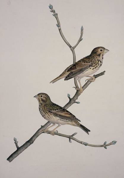 Wall Art - Photograph - Corn Buntings, 19th Century Artwork by Science Photo Library