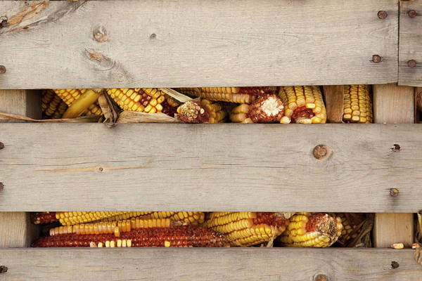 State Of Indiana Photograph - Corn Cobs In Corn Crib At Indiana State by Jaynes Gallery