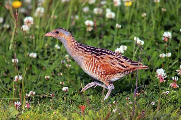 Ornithological Photograph - Corn Crake In A Meadow by Simon Booth