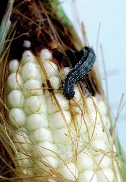 Corn Earworm Wall Art - Photograph - Corn Earworm by Jack Dykinga/us Department Of Agriculture/science Photo Library