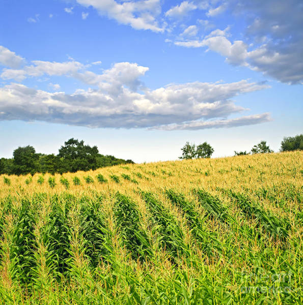 Wall Art - Photograph - Corn Field by Elena Elisseeva