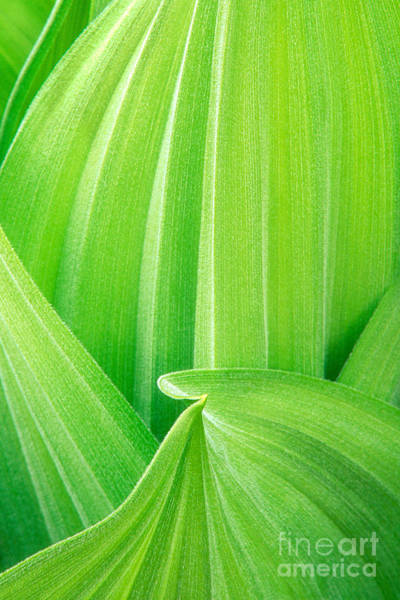 Photograph - Corn Lily Leaf Detail Yosemite Np California by Dave Welling