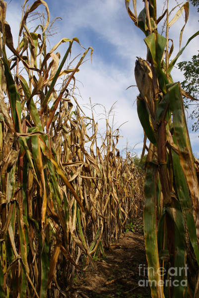 Photograph - Corn Maze by Linda Shafer