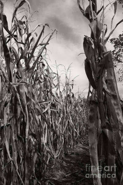 Photograph - Corn Maze - Sepia by Linda Shafer