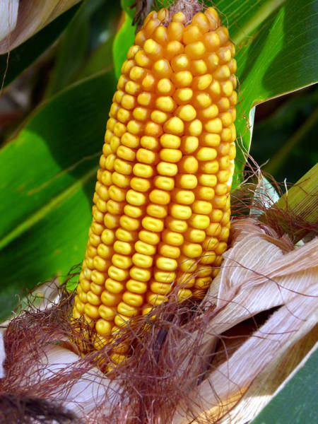 Photograph - Corn On The Cob by Jeff Lowe