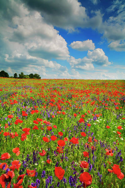 Cow Photograph - Corn Poppies And Vicias In Meadow by Frank Krahmer
