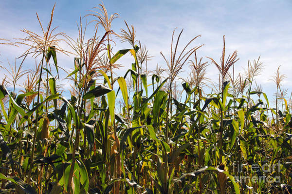 Corn Field Photograph - Corn Production by Carlos Caetano