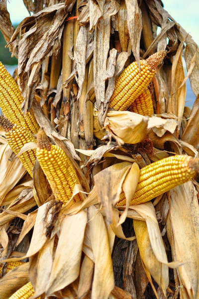 Photograph - Corn Shock - Sign Of Autumn by Paulette B Wright