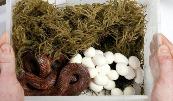 Wall Art - Photograph - Corn Snake And Eggs by Pascal Goetgheluck/science Photo Library