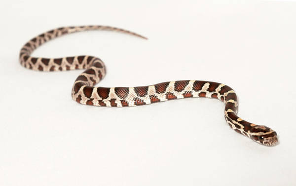 Photograph - Corn Snake by Les Stocker
