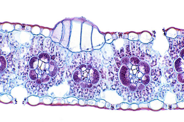 Corn (zea Mays) Monocot Leaf Showing Bulliform Cells, Vascular Bundles, And Stomates. Lm X80 Art Print by Dr. Ken Wagner