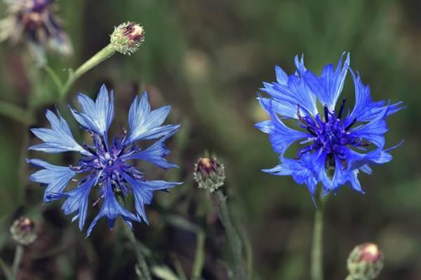 Cornflowers Photograph - Cornflower (centaurea Cyanus) by Brian Gadsby/science Photo Library