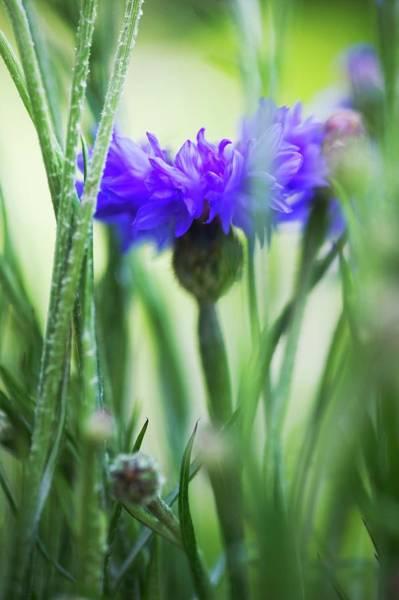 Cornflowers Photograph - Cornflower (centaurea Cyanus) by Gustoimages/science Photo Library