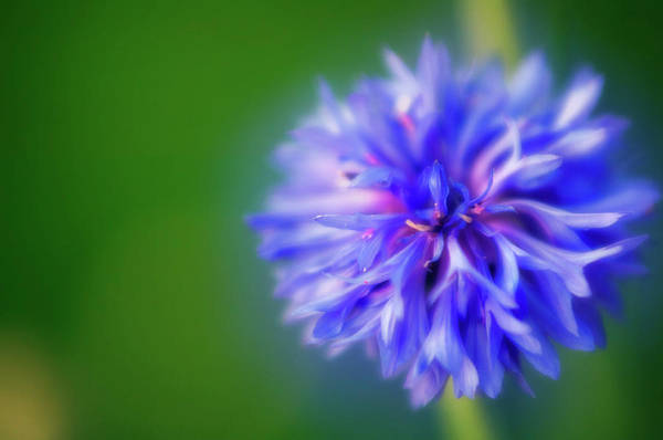 Cornflowers Photograph - Cornflower (centaurea Cyanus) by Maria Mosolova/science Photo Library