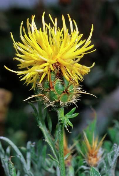 Cornflowers Photograph - Cornflower (centaurea Rupestris) by Bruno Petriglia/science Photo Library