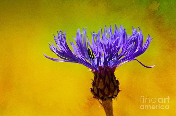 Cornflowers Photograph - Cornflower Composing by Lutz Baar